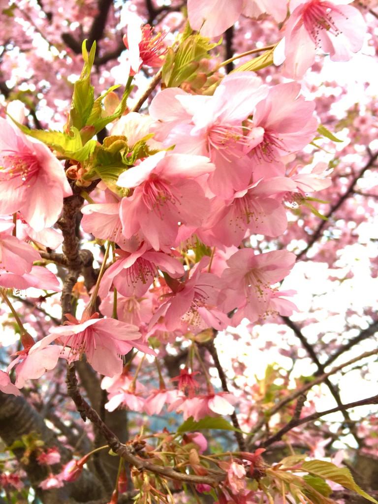 陽に向かう桜
