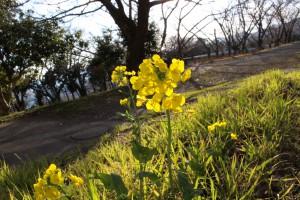 春を迎える菜の花